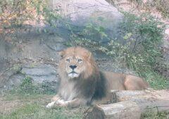 「ライオン」だって命がけで嫁探しをしている!