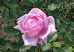 色と本数で異なるバラの花言葉とは♬